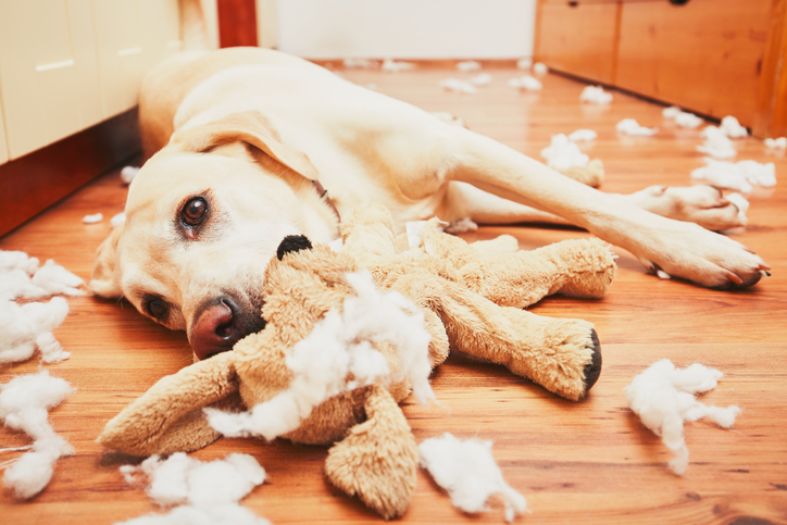 Naughty dog home alone - yellow labrador retriever destroyed the plush toy and made a mess