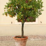Potted mini orange tree, Tuscany Italy